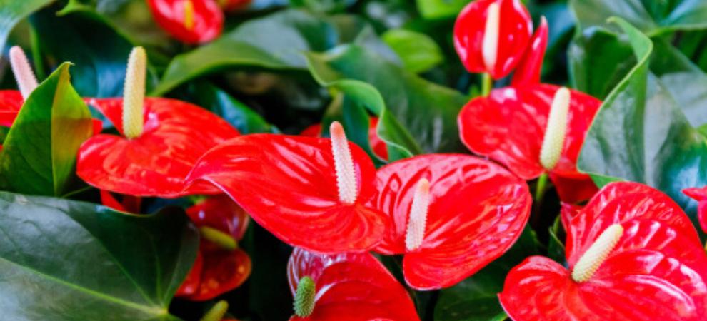 Bloeiende kamerplant kopen? | Tuincentrum De Boet | DeBoet.nl