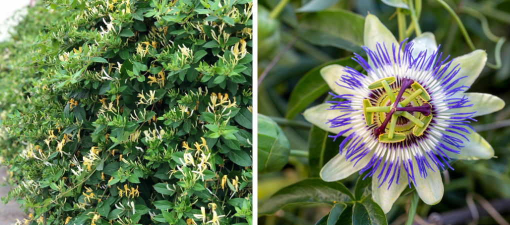Prachtige klimplanten kopen? | Tuincentrum De Boet | DeBoet.nl
